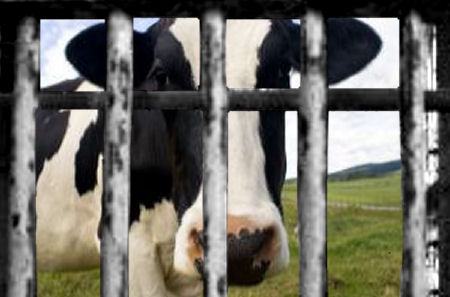 Imprisoned Cow