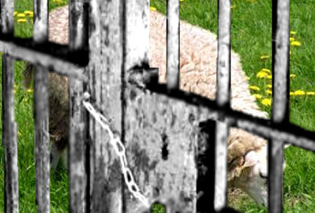 Imprisoned Sheep